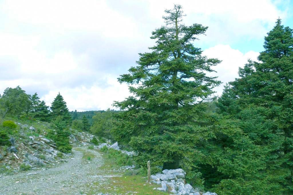 Pinsapo de las Escaleretas Parque Nacional de la Sierra de las Nieves